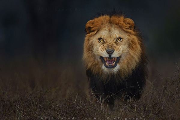 Atif Saeed Angry Lion Photography