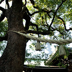 Goshinboku (Sacred tree) – Meiji Jingu