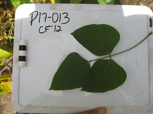 P17-013 CF12 L1