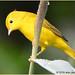 Yellow Warbler, Birds of John Heinz Wildlife Refuge
