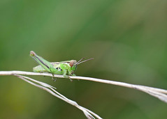 grasshopper on green