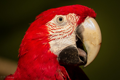 Portrait of a red parrot