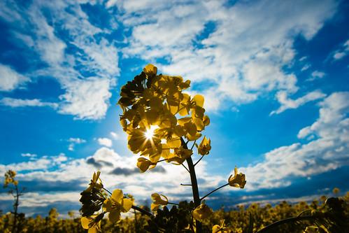 [フリー画像素材] 花・植物, 菜の花・アブラナ ID:201205031200