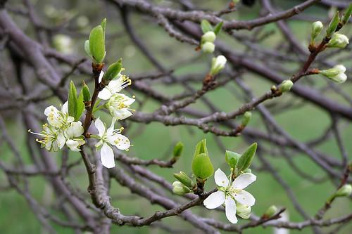 First plum blossoms
