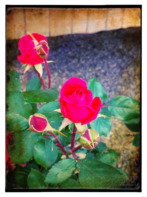 IMG_7798 Roses