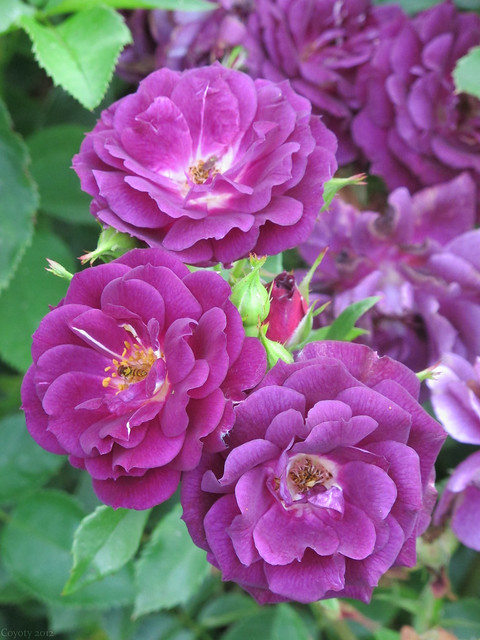 Magenta roses with hoverflies