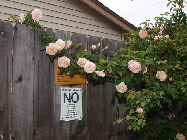L5113710 Jaune desprez roses