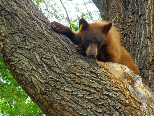 The Black Bear, just chilling in a tree