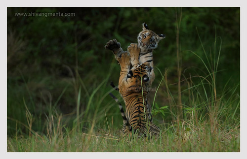 Play time @ Bandhavgarh (II)