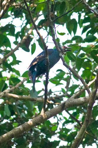 female Asian Fairy-Bluebird