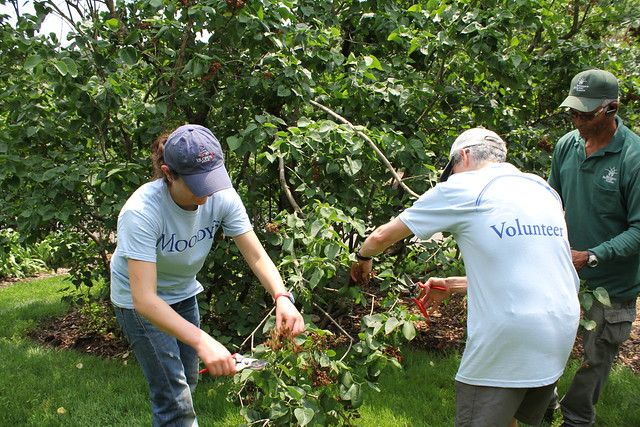 Volunteers remove spent lilacs from the lower branches.  Photo by Hayley Levenson.