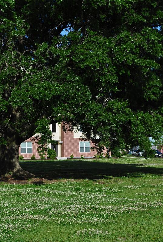 Quercus phellos (4)