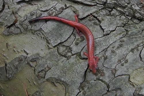 Erythristic Redback Salamander