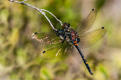 Male White-faced Darter