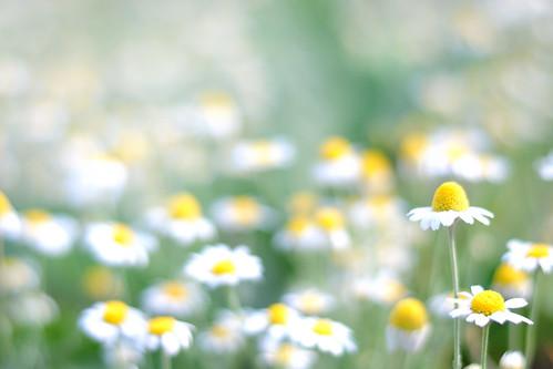 white flower daisy common wildflower virág gödöllő fehér vadvirág