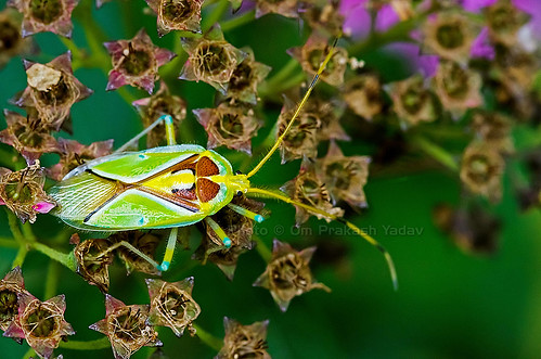 Green bug (top view)