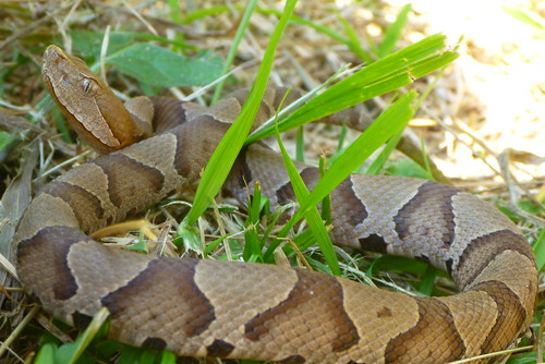 Juvenile Northern Copperhead