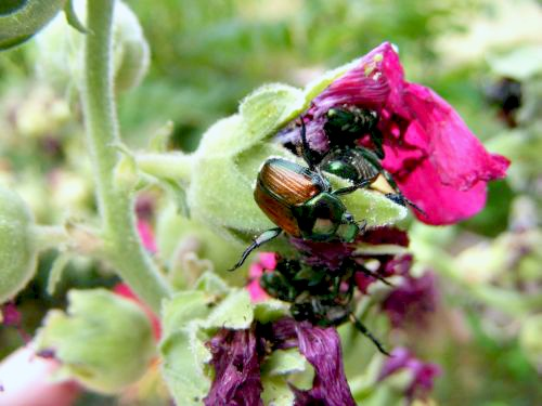 Japanese Beetles eating Hollyhocks