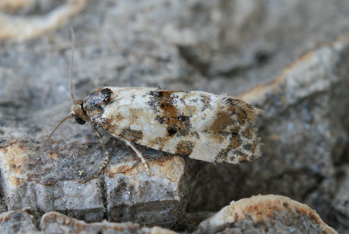 Cochylis molliculana
