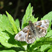 Tufted Marbled Skipper - Photo (c) Tig, all rights reserved