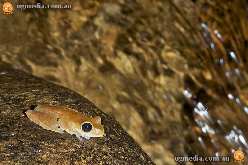 Australian lacelid frog (Nyctimystes dayi)