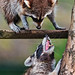 Small photo of Raccoon argument