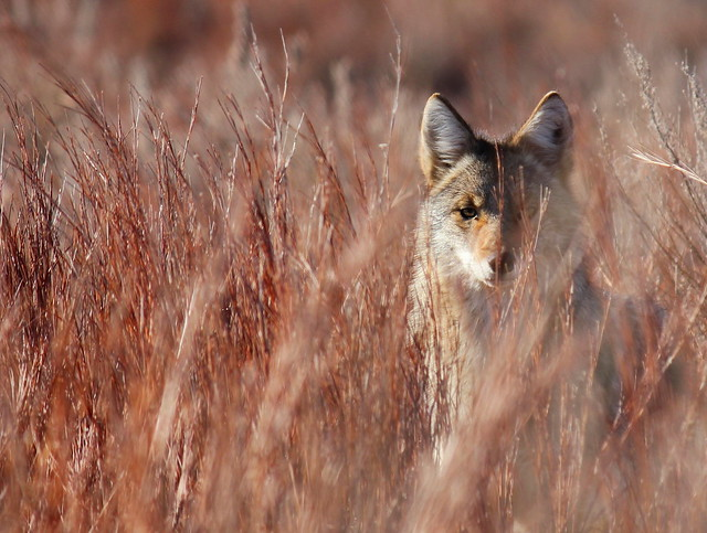 Coyote, Kansas, Estados Unidos
