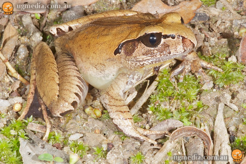 Mt Carbine barred frog (Mixophyes carbinensis)
