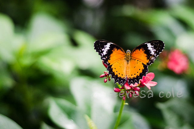 butterflies-1-3