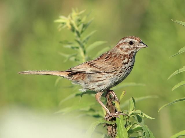 Song Sparrow 20120709