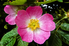 Wild Rose 12th-July-12