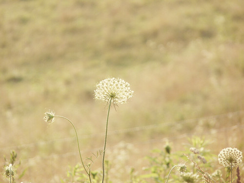 Queen Anne's Lace in the Meadow
