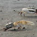 青白招潮蟹。(圖片來源:新竹市政府)