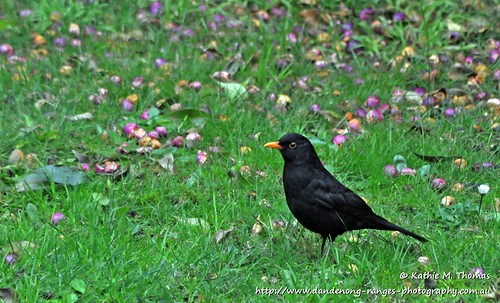 194-366 Blackbird in the garden