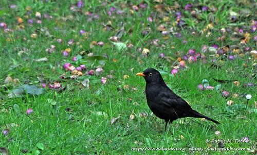 194-366 Blackbird in the garden