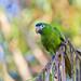 Red-shouldered Macaw - Brazilian Birds - Species # 027 by Bertrando©