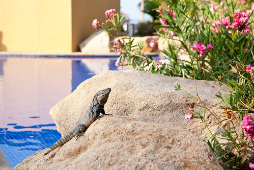 Iguana by the pool