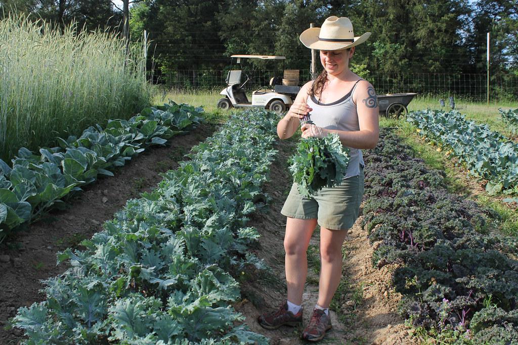 Harvesting kale at Perry-winkle Farm