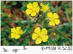 翻白草-01.jpg