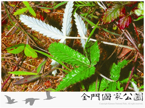 翻白草-02.jpg
