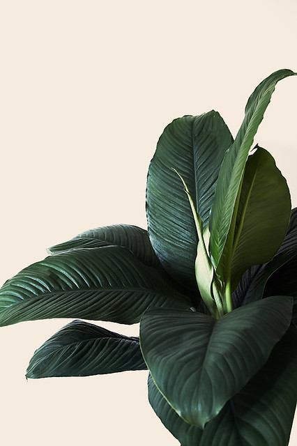 Broad Leaves Plant Flickr Photo Sharing