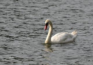 Furman Swan