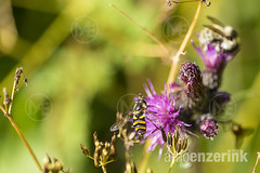 Hoverflies sitting on a thistle
