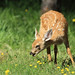 Feeding Fawn _27W9656a Explored