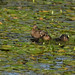 Three Mallards_2270.jpg