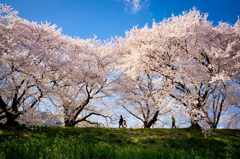 sakura '12 - cherry blossoms #8 (Sewari-tei, Kyoto)