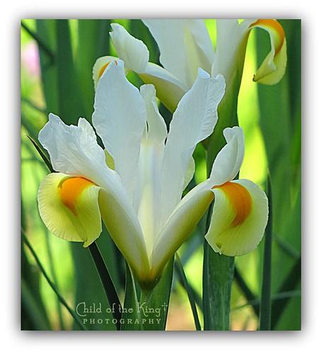 orange white flower floral yellow flora ©2012childofthekingphotography