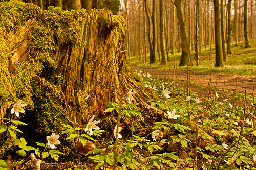 A tree stump and some anemones