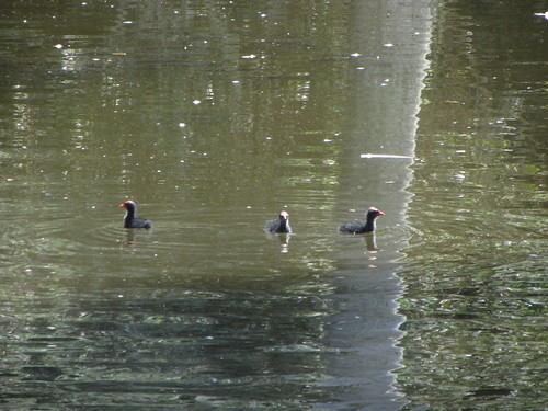 three moorhen chicks wonder where the adults are