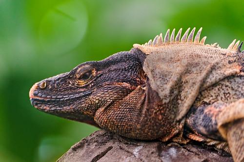 無料写真素材, 動物 , 爬虫類, イグアナ